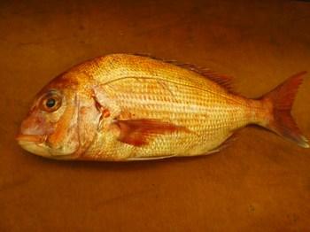 天然の鯛(タイ)