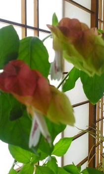 小エビの花3