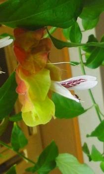 小エビの花1